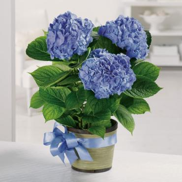 Heavenly Hydrangea/Seasonal