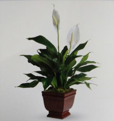 Peace lilly--10 inch
