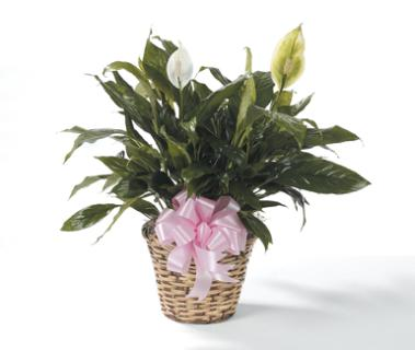Small Peace Lily--6 inch